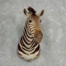 African Zebra Shoulder Mount For Sale #17760 @ The Taxidermy Store