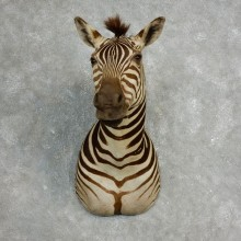 African Zebra Shoulder Mount For Sale #17763 @ The Taxidermy Store