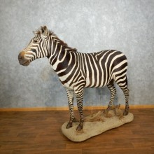 African Zebra Life Size Taxidermy Mount #17963 For Sale @ The Taxidermy Store
