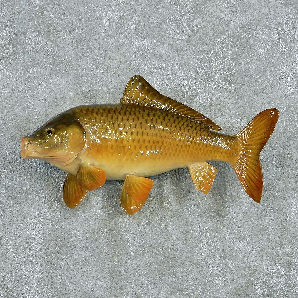 12795 e 19 grass carp freshwater taxidermy fish mount for Carp fish for sale