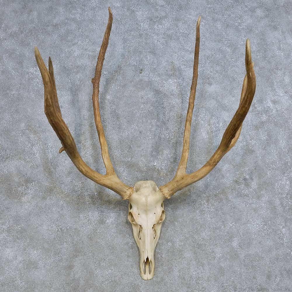 Whitetail Deer Skull Anatomy