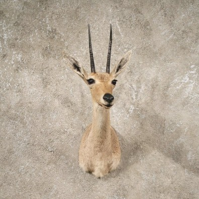 #10641 African Vaal Rhebok Shoulder Taxidermy Head Mount For Sale