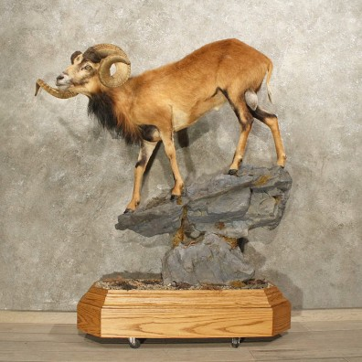 Corsican Ram Mount #10879 - The Taxidermy Store