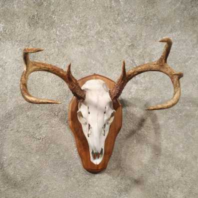 Whitetail Deer Taxidermy Antler Plaque Mount