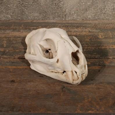 Mountain Lion / Cougar Skull