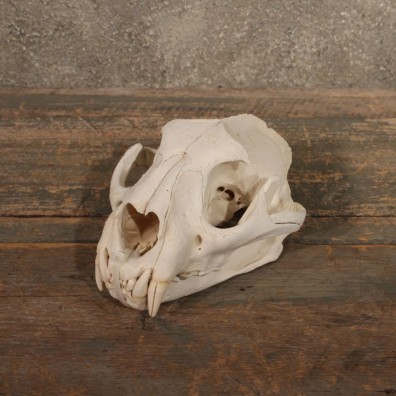 Mountain Lion / Cougar Skull