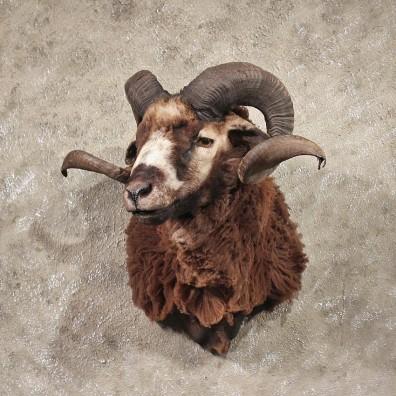Black Coriscan Ram Mount #11322 - The Taxidermy Store