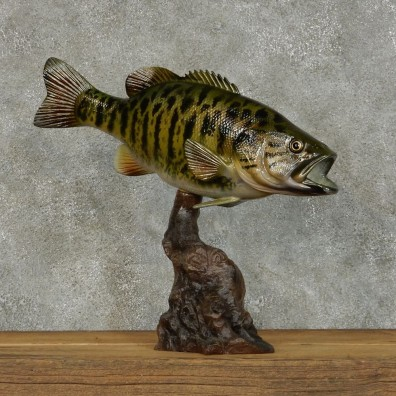 Smallmouth Bass Life Size Taxidermy Mount #13123\4 For Sale @ The Taxidermy Store