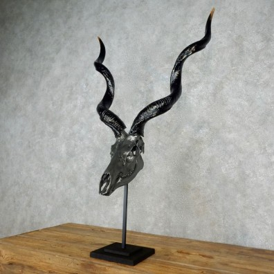 Kudu Skull & Horn European Mount For Sale #17242 @ The Taxidermy Store