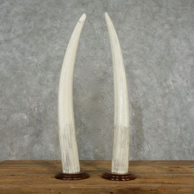 Walrus Tusk Replica Mount For Sale #17388 @ The Taxidermy Store