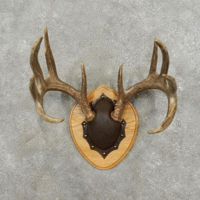 Whitetail Deer Antler Plaque Mount For Sale #17404 @ The Taxidermy Store