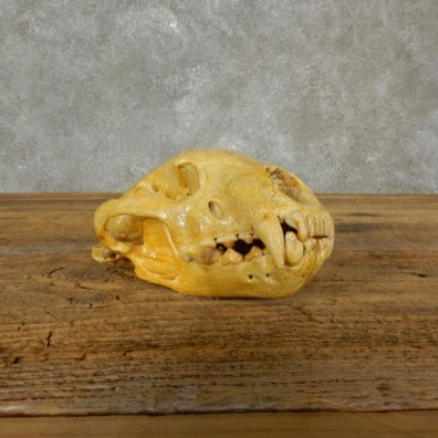 Wolverine Skull Mount For Sale #17494 @ The Taxidermy Store