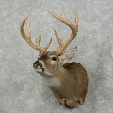 Whitetail Deer Shoulder Mount #17528 For Sale - The Taxidermy Store