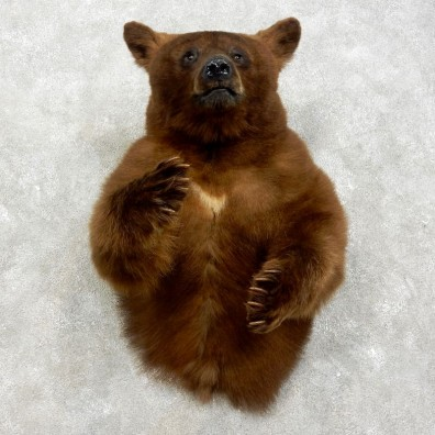 Cinnamon Bear 1/2-Life-Size Mount For Sale #17533 @ The Taxidermy Store