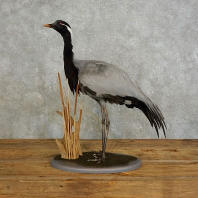 Demoiselle Crane Bird Mount For Sale #17544 @ The Taxidermy Store