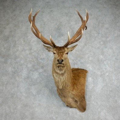 Red Stag Shoulder Mount For Sale #17989 @ The Taxidermy Store