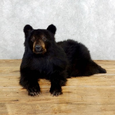 Laying Black Bear Cub Mount #18259 For Sale @ The Taxidermy Store