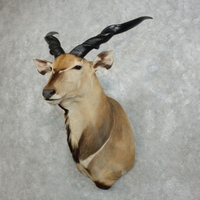 African Lord Derby Eland Shoulder Taxidermy Mount #18344 For Sale @ The Taxidermy Store