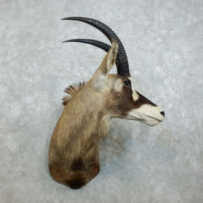 Roan Antelope Shoulder Mount For Sale #18530 @ The Taxidermy Store