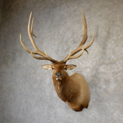 Rocky Mountain Elk Shoulder Mount For Sale #18950 @ The Taxidermy Store