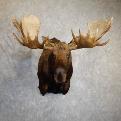 Moose Shoulder Taxidermy Mount For Sale #19623 - The Taxidermy Store