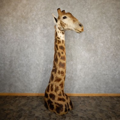 Giraffe Taxidermy Shoulder Mount For Sale #20215 @ The Taxidermy Store