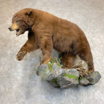 Chocolate Colored Black Bear Life-Size Mount For Sale #21797 @ The Taxidermy Store