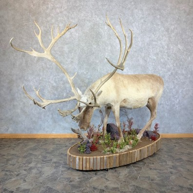 Eurasian Reindeer Life-Size Mount For Sale #21806 @ The Taxidermy Store