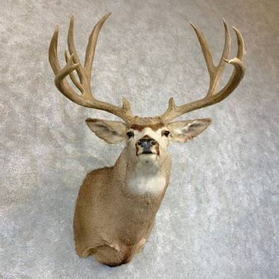 Mule Deer Shoulder Mount For Sale #22084 @ The Taxidermy Store