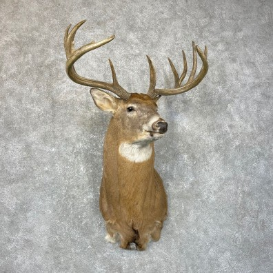 Whitetail Deer Shoulder Mount For Sale #24657 @ The Taxidermy Store