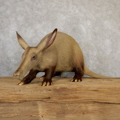 Aardvark Life-size Taxidermy Mount For Sale #18944 @ The Taxidermy Store