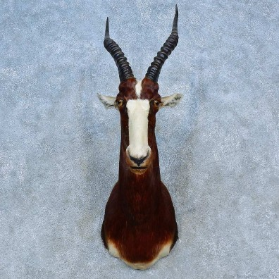 African Blesbok Shoulder Mount For Sale #15482 @ The Taxidermy Store
