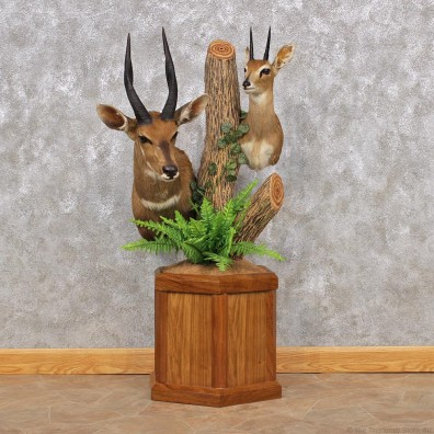 African Steinbok & Bushbuck Pedestal #12323 For Sale @ The Taxidermy Store