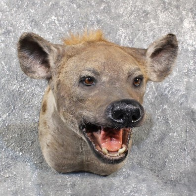 African Hyena Shoulder Mount #11649 For Sale @ The Taxidermy Store