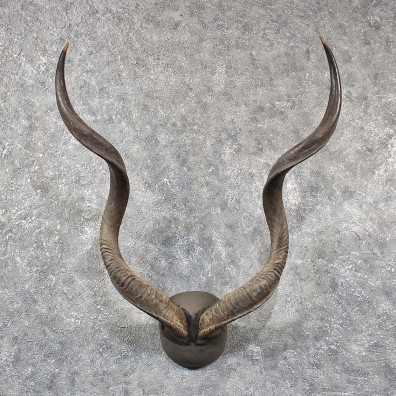 African Greater Kudu Horns #11586 - For Sale @ The Taxidermy Store