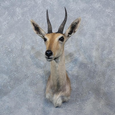 African Common Reedbuck Shoulder #10149 - The Taxidermy Store