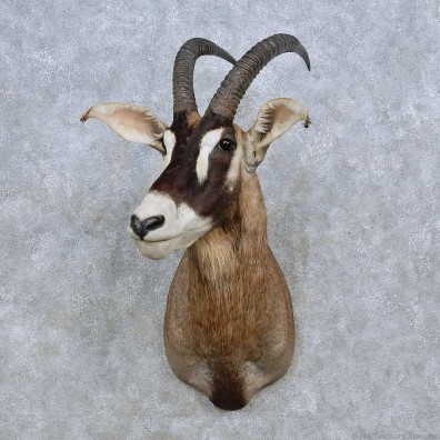 Roan Antelope Shoulder Mount For Sale #14582 @ The Taxidermy Store