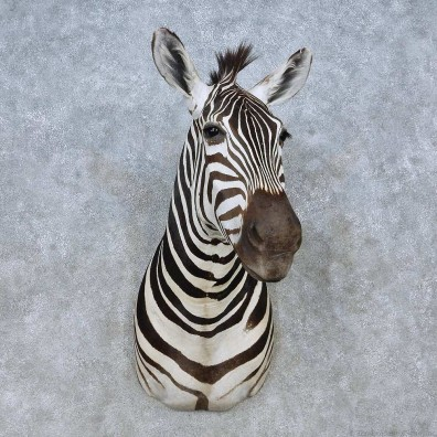 African Zebra Shoulder Mount For Sale #15034 @ The Taxidermy Store