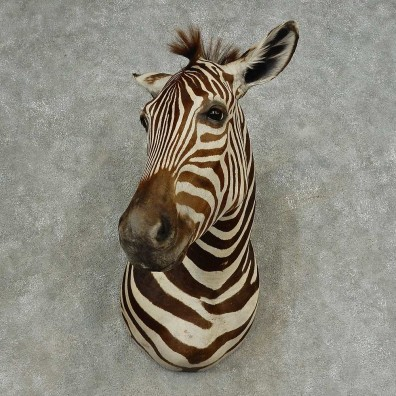 African Zebra Shoulder Mount For Sale #16640 @ The Taxidermy Store
