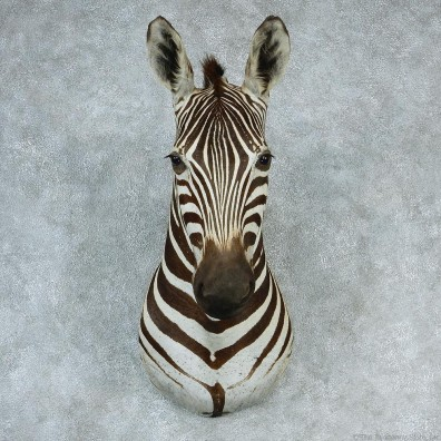 African Burchell's Zebra Shoulder Taxidermy Head Mount #12732 For Sale @ The Taxidermy Store