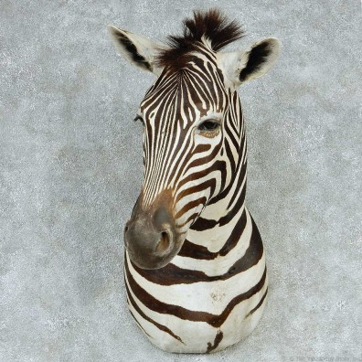 African Zebra Shoulder Taxidermy Mount #13245 For Sale @ The Taxidermy Store