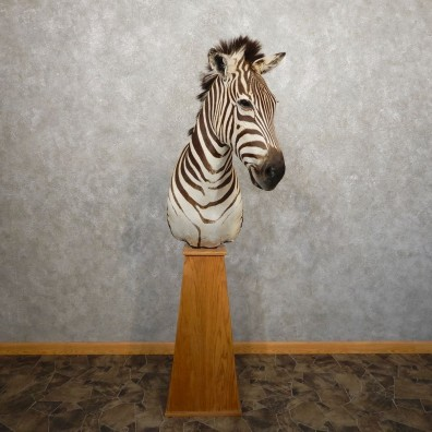 African Burchell's Zebra Pedestal Mount For Sale #20341 @ The Taxidermy Store