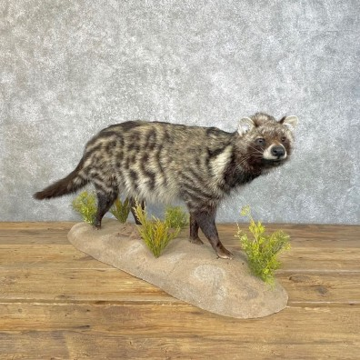 African Civet-Cat Life-Size Mount For Sale #25125 @ The Taxidermy Store