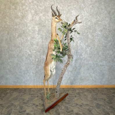 African Gerenuk Taxidermy Life-Size Mount #24272 - The Taxidermy Store