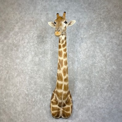 African Giraffe Shoulder Mount For Sale #25273 @ The Taxidermy Store