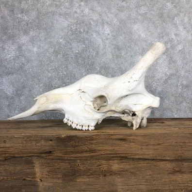 African Giraffe Skull For Sale #19847 @ The Taxidermy Store