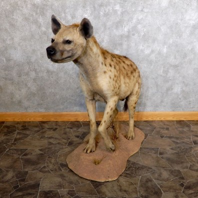 African Hyena Life-Size Taxidermy Mount #18599 For Sale @ The Taxidermy Store