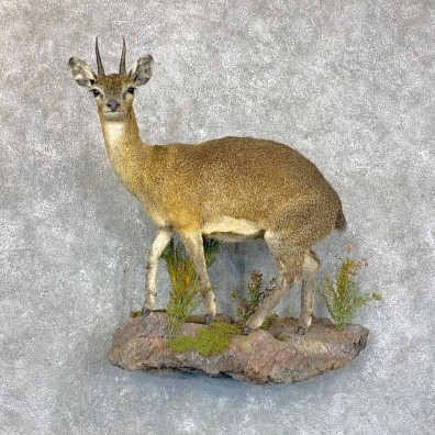 African Klipspringer Taxidermy Mount #23601 @ The Taxidermy Store
