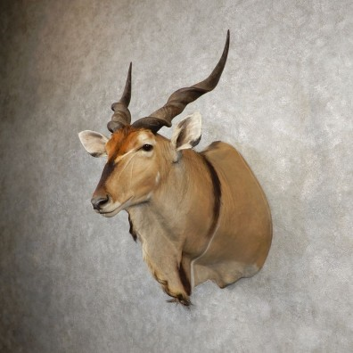 African Lord Derby Eland Shoulder Taxidermy Mount #21088 For Sale @ The Taxidermy Store