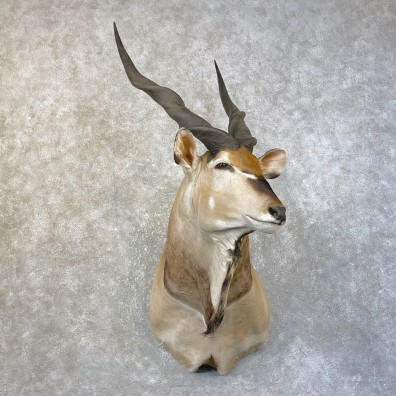 African Lord Derby Eland Shoulder Taxidermy Mount #25147 For Sale @ The Taxidermy Store